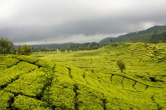 Tea Garden, Bandung, Indonesia submitted by: denisusanto,...