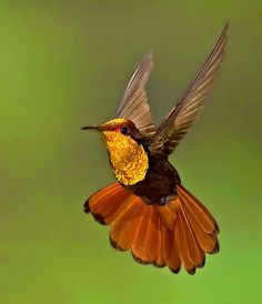 Beautiful golden hummingbird flying