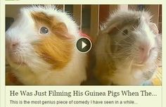 Just 2 Guinea Pigs having a little chat! Click through to the video. It's a hoot!