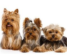 Yorkshire #Yorkie Terrier #Dogs #Puppy. he Yorkshire Terrier is a small dog breed of terrier type, developed in the 19th century in the county of Yorkshire, England, to catch rats in clothing mills, also used for rat-baiting. The defining features of the breed are its maximum size of 7 pounds (3.2 kg) and its gray, black, and tan coat. The breed is nicknamed Yorkie and is placed in the Toy Terrier section of the Terrier Group by the Fédération Cynologique Internationale