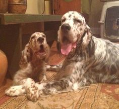 English Setter and his puppy