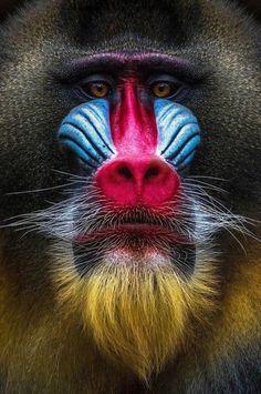 Nature Animals, Animals And Pets, Funny Animals, Cute Animals, Beautiful Creatures, Animals Beautiful, Mandrill Monkey, Regard Animal, Wild Animals Photography