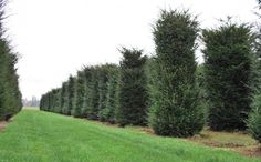 Solitair-taxus-baccata-heding-plant-gardenista