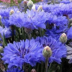 Bachelor Button Cornflower (Centaurea Cyanus Blue) Beautiful Sky Blue, Drought Tolerant Flower Attracts Bees Butterflies and Hummingbirds, So Easy to Grow Approx. 25 Seeds