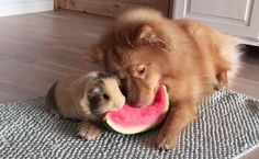Daily Cute: Guinea Pig and Dog Enjoy Watermelon Together