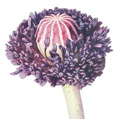 Part of an exhibit for London RHS Botanical Art Show 2107 titled Metamorphosis - Life cycle of Papaver orientale Illustration Blume, Watercolor Illustration, Botanical Drawings, Botanical Prints, Flower Drawings, Art Floral, Watercolor And Ink, Watercolor Flowers, Illustration Competitions