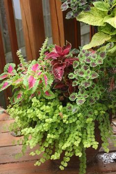 Coleus Velvet Red, Wizard Rose and Chocolate Drop (the small leaves), Caladium and Creeping Jenny,