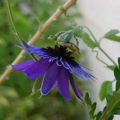 "Passiflora amethystina ""Minas Gerais"""