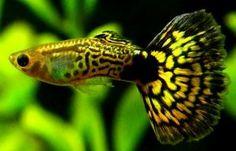 10 Ikan Guppy Ideas Guppy Aquarium Fish Fish Pet