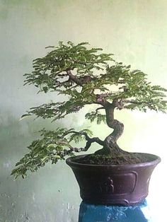 ֍♣I simply love this pretty #bonsai.♣♣       #BonsaiInspiration
