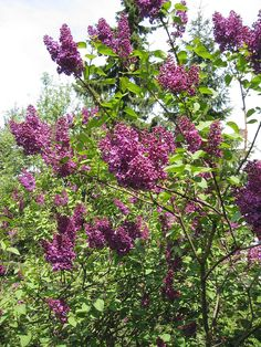 Syringa vulgaris (Lilac or Common Lilac) is a species of Syringa in the olive family Oleaceae. New Hampshire, NH State Flower. Garden Shrubs, Flowering Shrubs, Lawn And Garden, Garden Plants, Prune Lilac Bush, Lilac Pruning, Lilac Tree, Lilac Flowers, Purple Lilac