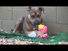 Hasbro Pulls the Stuffing Out of His Flamingo Dog Toy - YouTube