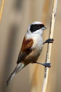 Aves pasareiformes. Foto de pájaro moscón enuna caña. Remiz pendulinus.