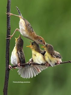 jonge vogels worden gevoerd
