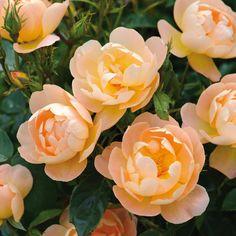 Image result for rose the lark ascending
