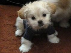 Teddy Bear Puppies For Sale In Wisconsin Tiny And Teacup