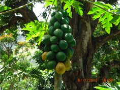 Papaya in Waipio Valley, Big Island, Hawaii             From youishare.com