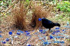 satin bowerbird - Google Search
