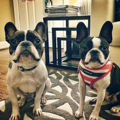 <3 Boston Terriers [French Bulldog and Boston Terrier]