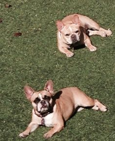 Francesca and Montague getting a Suntan, French Bulldogs