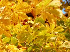 #leaves #nature #tree #yellow