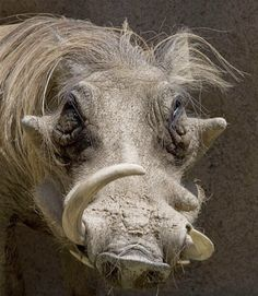 Warthog: It's a haggard outlook for this member of the pig family, whose name comes from four wart-like growths on its head that are used to store fat and for defense in its native Africa.