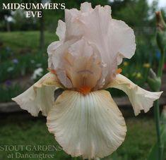 Iris MIDSUMMER'S EVE