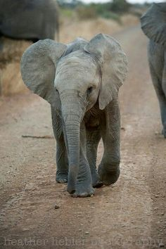 Baby Elle traveling the road Baby Animals Pictures, Cute Baby Animals, Animals And Pets, Baby Elephant Pictures, Wild Animals, Elephants Photos, Save The Elephants, Baby Elephants, Elephant Photography