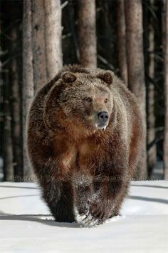 Big bear in Yellowstone