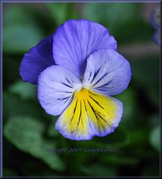Cheerful Pansy for Bia by LadyAliceofOz on deviantART