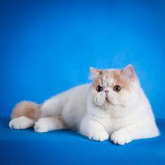 G-Ten Romeo #gtencattery #catlover #cattery #cat #exoticcat #kitten #catstagram #exotic #instacat #catshow #kittens #cats #catsofinstagram #kucinglucu #kucing