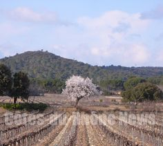 L'amandier dans la vigne - Almond tree in vineyard