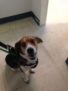 Plainfield Animal Control https://www.facebook.com/groups/330978610254210/permalink/1031179613567436/   Found male beagle dragging an expandable leash. Has name tag but number is disconnected and microchip is not registered. Found on New Road in Plainfield. Call 860-564-8547 and leave a message and someone will get back to you tomorrow.