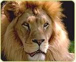 Luv Lions ! Such Beautiful Animals ! So Majestic !
