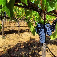 The best grapes for the best wine: Morellino di Scansano Riserva. #cecchiharvest #Maremma #Tuscany