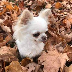 Long Coat Chihuahua, White Chihuahua, Long Haired Chihuahua, Chihuahua Love, Chihuahua Puppies, Dogs And Puppies, Puppy Pics, Puppy Pictures, I Love Dogs