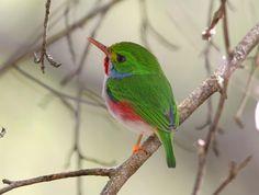 2 places left on our 2-week Cuba/Jamaica birding tour next April! See almost 60 ISLAND ENDEMICS! http://birdingecotours.com/SouthAmerica/Caribbean/caribbean_cubaandjamaica.php Cuban Tody photo by William Price. www.birdingecotours.co.za