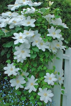 Clematis Garden Trees, Trees To Plant, Flowers Perennials, Planting Flowers, Trailing Flowers, Clematis Vine, Moon Garden, Peonies Garden, Flowering Vines