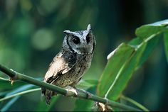 Birding in Taiwan - Information about Taiwan, birds, habitats; species accounts, particularly endemics Owl Species, Star Wars, Little Owl, Cute Owl, Owls, Habitats, Collars, The Incredibles, Wallpaper