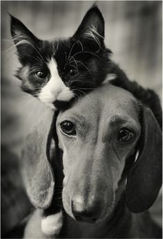 Dachshund and Cat - Photography by Dmitriy Konstantinov Cute Baby Animals, Animals And Pets, Funny Animals, Funny Cats, Wild Animals, Dachshund Funny, Dachshund Love, Daschund, I Love Cats