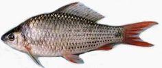 Ikan Nilem - http://www.seputarikan.com/2015/06/ikan-nile.html