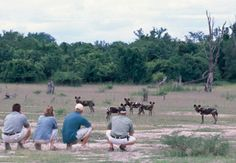 Wild Dogs spotted during a walking safari in Zambia