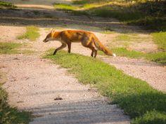 a kis ravasz ( Dél-Hanság ) - immoinwest - indafoto. Kangaroo, Animals, Baby Bjorn, Animales, Animaux, Animal, Animais