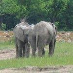 Słoń afrykański  Samiec osiąga wysokość do 4,2 metra
