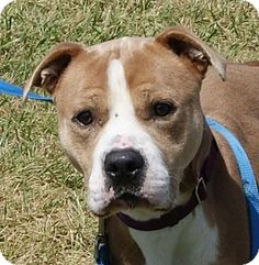 Monroe, MI - Bulldog/Boxer Mix. Meet Fabio, a dog for adoption. http://www.adoptapet.com/pet/13714669-monroe-michigan-bulldog-mix