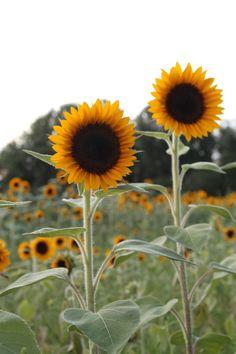 Sunflowers Fields