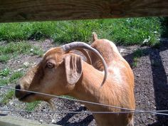Cute goat at Matakana Country Park