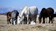 """Livanjski """"divlji"""" konji prepušteni sami sebi"""