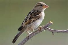 House Sparrow - Bing images