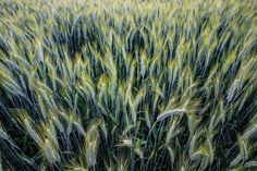 wheat field - null